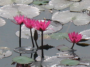 300px-Lotus_in_India