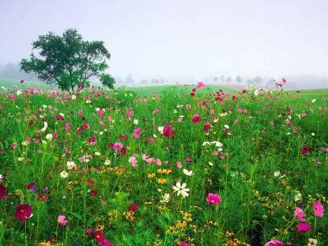 Flowers-Field-of-Black-Eyed-Susans-Desktop-Wallpaper